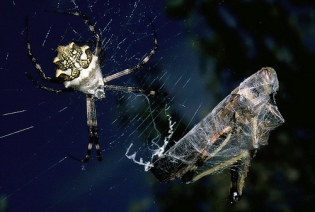 Silver Argiope Spider and Prey by Sylvie Goldman (GC member)