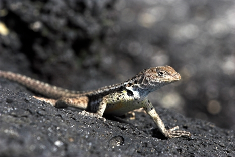 Small Lava Lizard, Microlophus species, sunbathing on black volcanic rock, Floreana, Galapagos Islands.