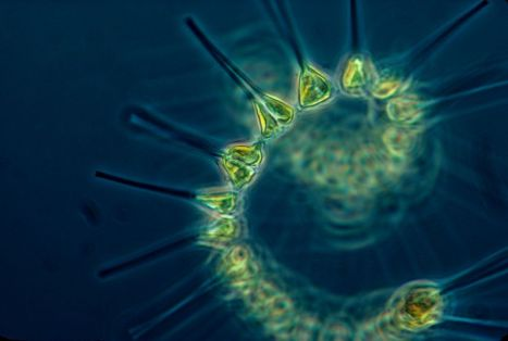 800px-Phytoplankton_-_the_foundation_of_the_oceanic_food_chain