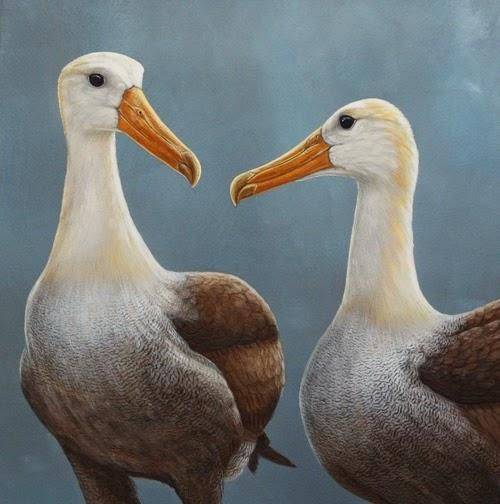 waved-albatross-home